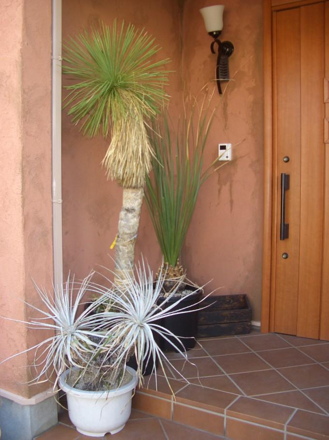 玄関前にユッカ・リネアリスやプヤ、ダシリリオン。カッコいいです。
